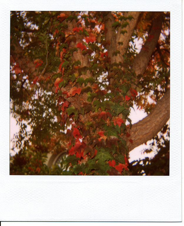 After I got back from my little exploration trip on Marsh Rd., I stopped off at the gas station.  On the way home I saw a section of the road that had a bunch of trees with leaves turning colors, so I parked nearby and took a bunch of pictures for the rest of today's 'Roid Week photos.  <br /> <br /> I'm not a fan of cameras with auto flash that can't be overridden.  As much as possible I like to stick to natural light.  I was hoping that the lighting was good enough that the OneStep CloseUp wouldn't fire the flash, but I guess not. :-/