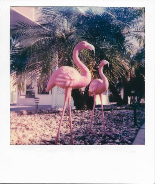 Flamingoes (Flamingos?)