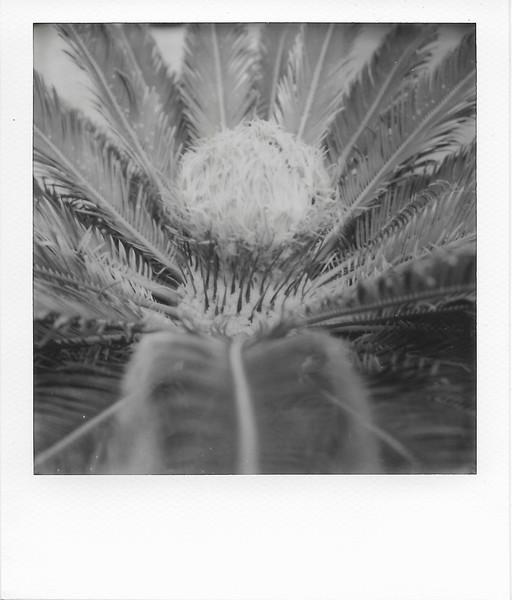 Sago Palm Flower