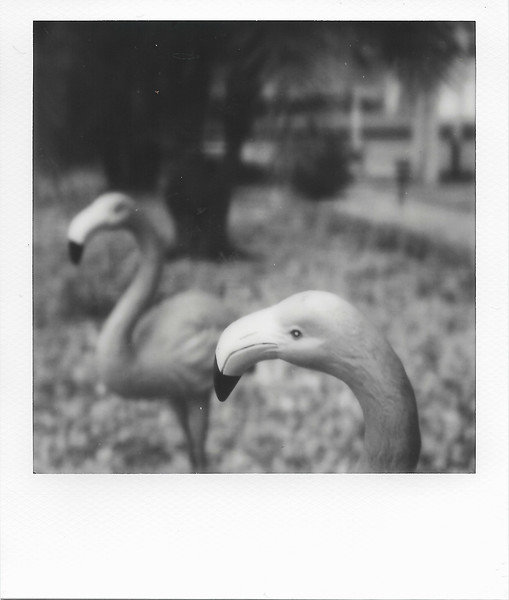 Two Flamingos with Yellow Filter