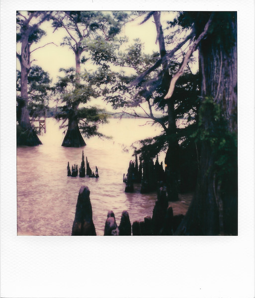 Cypress Trees in Lake Arthur