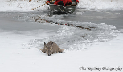 A path through the frozen water suggests the path the doe took to reach the point where she became stuck.