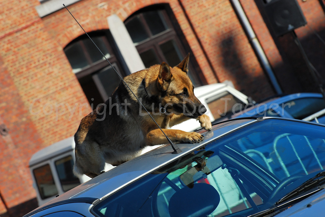 A police dog of the dog support unit of the federal police at work.