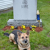 Caesar, a 9-year-old Czech German Shepherd, will be soon retiring from the K9 department of the Westminster Police Office. He has worked with Officer Richard Michele for about seven years. SENTINEL & ENTERPRISE / Ashley Green