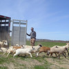 Keith Kopley, of Kalon Farm out of Ashburnham, releasing about 100 sheep and goats onto the former landfill in Leo minster on Wednesday around noon. SENTINEL & ENTERPRISE/JOHN LOVE
