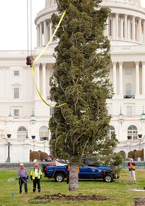 Christmas arrived early to the US Capitol West Lawn with the arrival and installation of the 47th Capitol Christmas tree. The 63 foot Sierra white fir from California's Stanislaus National Forest arrived in Washington D.C. on Monday morning on November 28, 2011, following a 20-day tour across the country. The tree will eventually be decorated with more than 10,000 LED lights and some 2,000 handmade ornaments. (Photo by Jeff Malet)