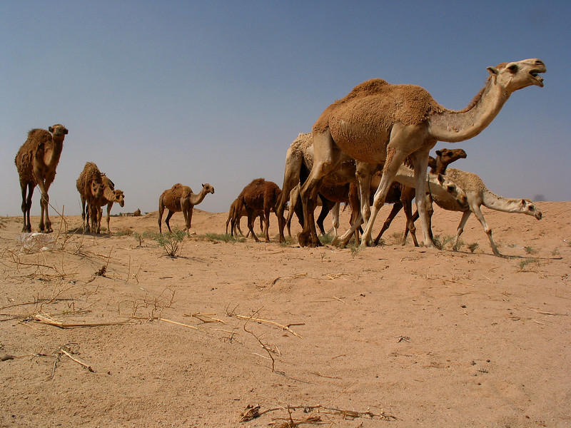 Camels walk through the Iraqi desert, Iraq. Camels have played an important part in the history of the region for at least four thousand years. Camels have the ability to live in the harsh environment of the Middle East, a place where other large animals could never survive.(Australfoto/Douglas Engle)