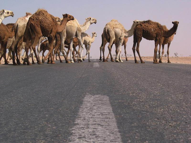 Camels cross a highway in the Iraqi desert, Iraq. Camels have played an important part in the history of the region for at least four thousand years. Camels have the ability to live in the harsh environment of the Middle East, a place where other large animals could never survive.(Australfoto/Douglas Engle)