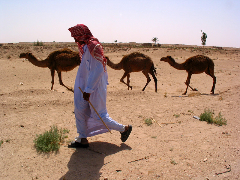 A man herds camels in the Iraqi desert Iraq. Camels have played an important part in the history of the region for at least four thousand years. Camels have the ability to live in the harsh environment of the Middle East, a place where other large animals could never survive.(Australfoto/Douglas Engle)