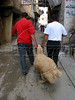 Residents carry a sheep through the narrow streets of  the Shatila Palestinian refugee camp in Beirut, Lebanon. Shatila and another camp were site of an infamous massacre of more than 1000 people in 1982 by Christian milita members as Israeli soldiers stood by. The UN estimates over 300,000 Palestinian refugess in Lebanon, who are denied many services and banned from working in many occupations.(Australfoto/Douglas Engle)