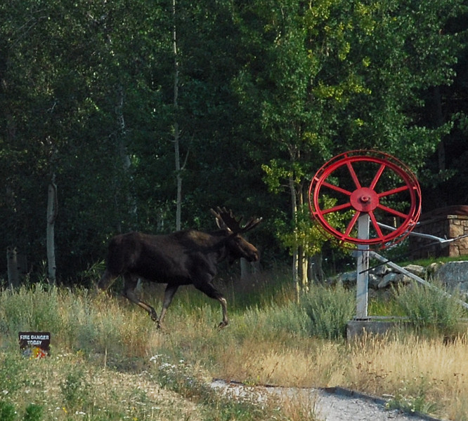 During breakfast, this moose ran out on the ski slope, then turned and ran back into the woods.