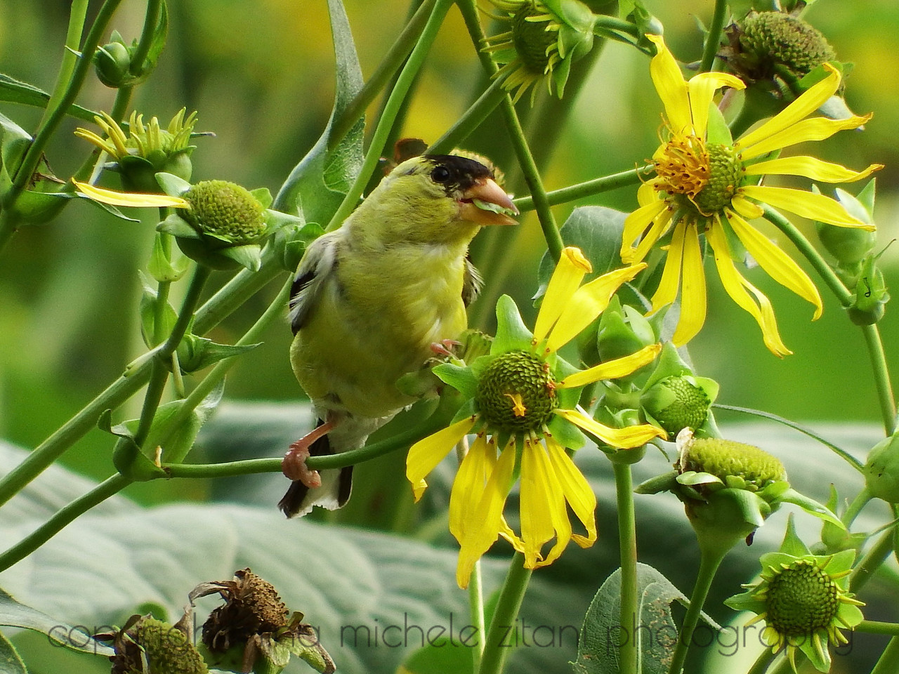 American Goldfinch Eating Cup Plant Seeds
