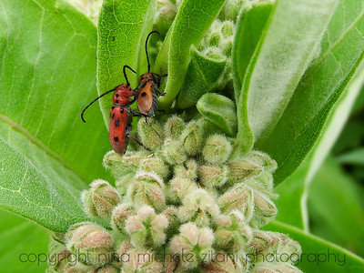 Beetles on Milkweed in June