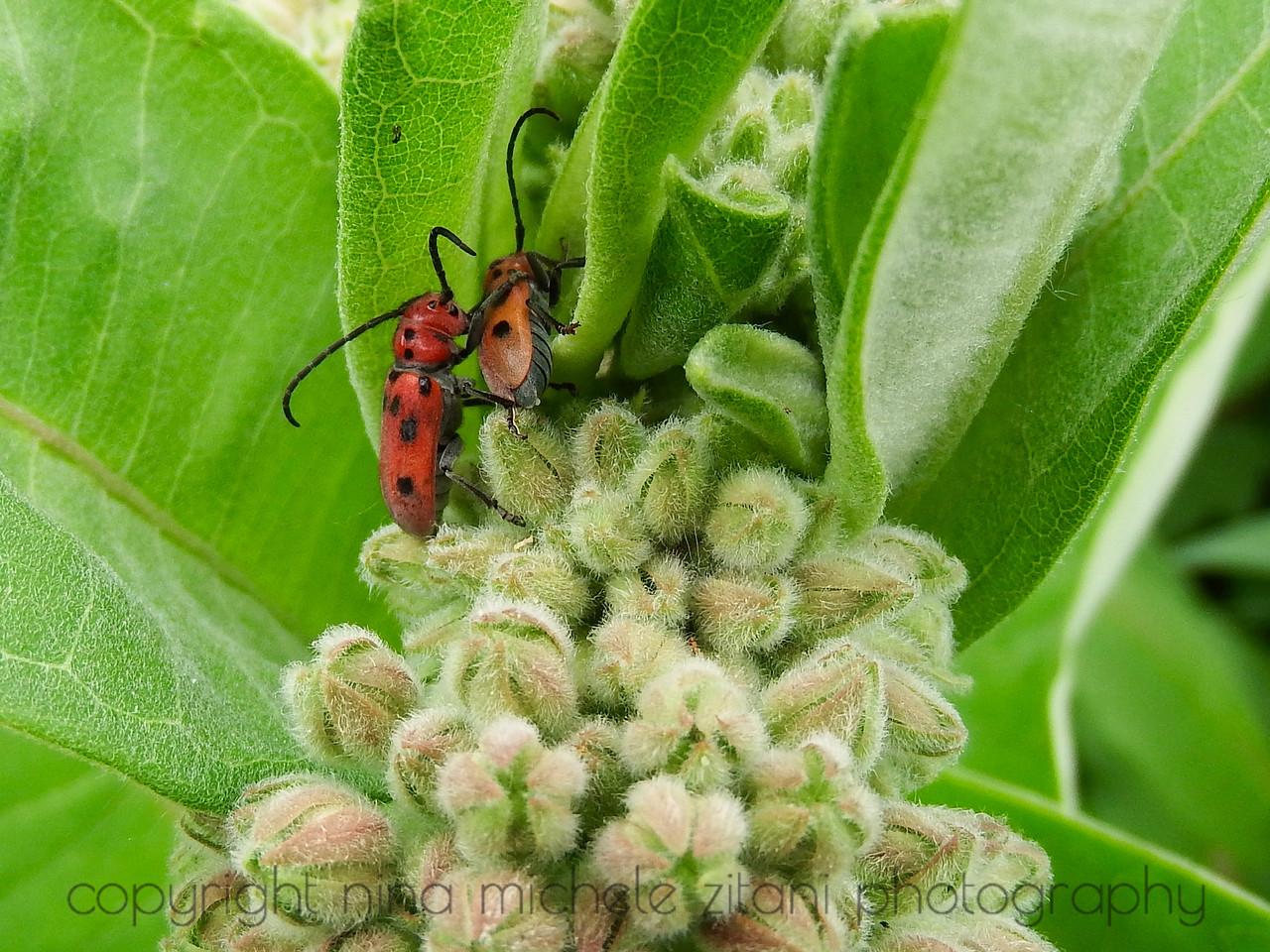 Beetles on Milkweed in June