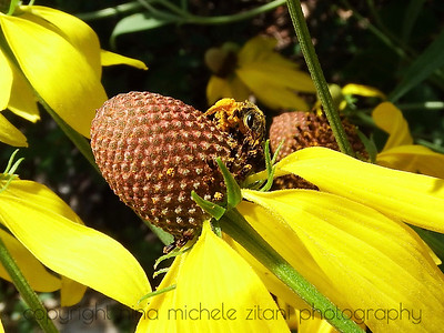 Halictus on Pinnate Prairie Coneflower