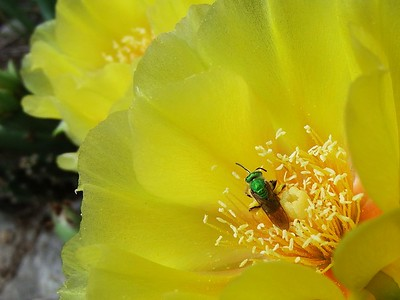 Native Solitary Bee on Opuntia