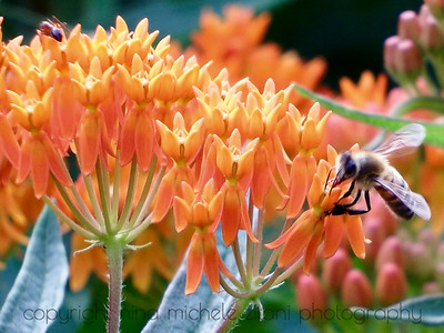 Butterfly Milkweed with Honey Bee