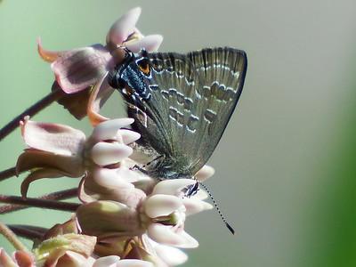 Lycaenid Butterfly on Milkweed