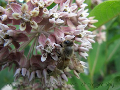 Milkweed with Honey Bee