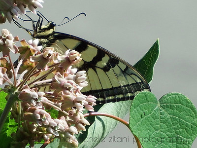 Tiger Swallowtail on Milkweed with Moonseed Leaf