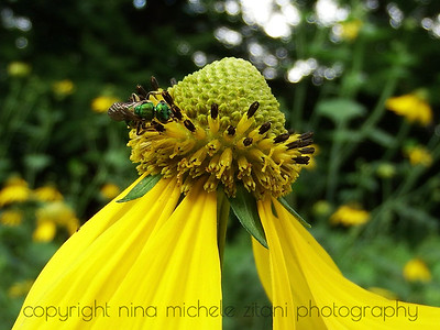 Sweat Bee on Green-headed Coneflower