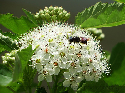 Pollinating Fly on a Native Rose