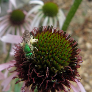 Native Halictid Bee on Echinacea