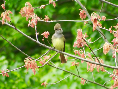Great Crested Flycatcher on Red Oak