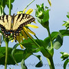 Tiger Swallowtail on Cup Plant