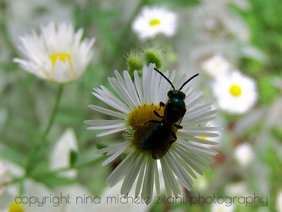 Sweat Bee on Fleabane