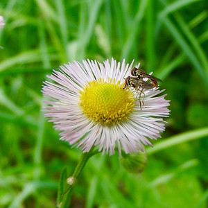 Flies Mating on Fleabane