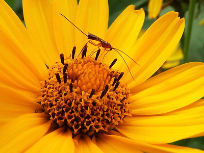 Parasitoid Wasp on Heliopsis