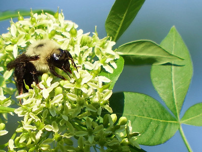 Hoptree Feeds Pollinators in Spring