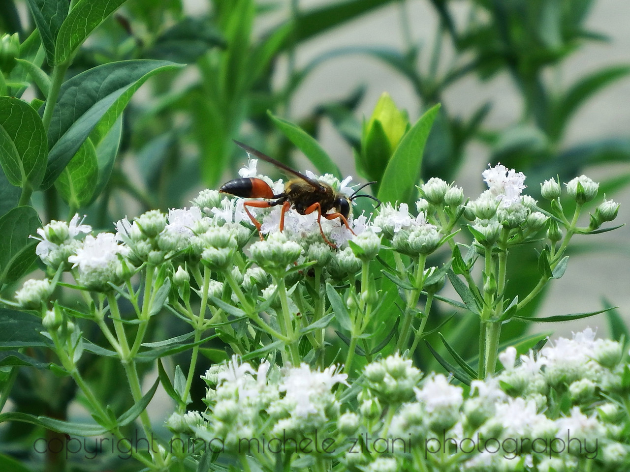 Great Golden Digger Wasp on Virginia Mountain Mint