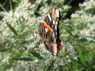 Vanessa on Eupatorium
