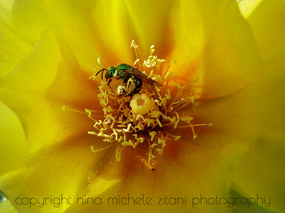 Sweat Bee on Prickly Pear Cactus