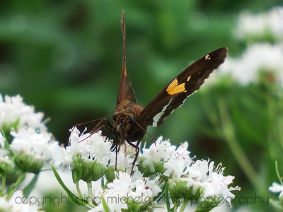 Silver Spotted Skipper on Virginia Mountain Mint