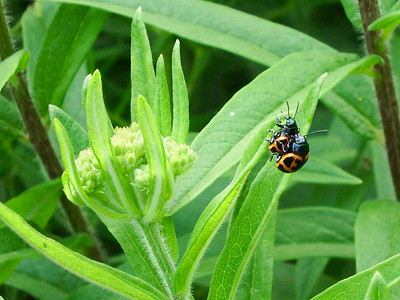 Leaf Beetles on Butterfly Milkweed