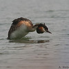 Great Crested Grebe, Perkoz dwuczuby