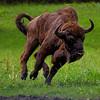 European bison<br /> Żubr