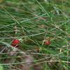 Wild Strawberries, Poziomki