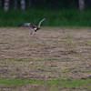 Western Marsh Harrier flying away spooked by my careless step on a big meadow in the Piska Forrest.