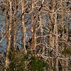 Cormorants were flying back and forth between the lake and the island...<br /> Koromorany lataly z Wyspy na jezioro i z powrotem...