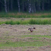 Western Marsh Harrier resting after gaining a safe distance from my camera in Piska Forest's big meadow.