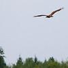 White Tailed Eagle / Orzel Bielik