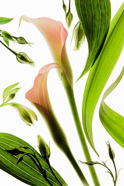 Leaves and Cala Lilies
