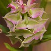 Polygala cruciata, Cross-leaved Milkwort, Burlington County, New Jersey 2014-10-03   2
