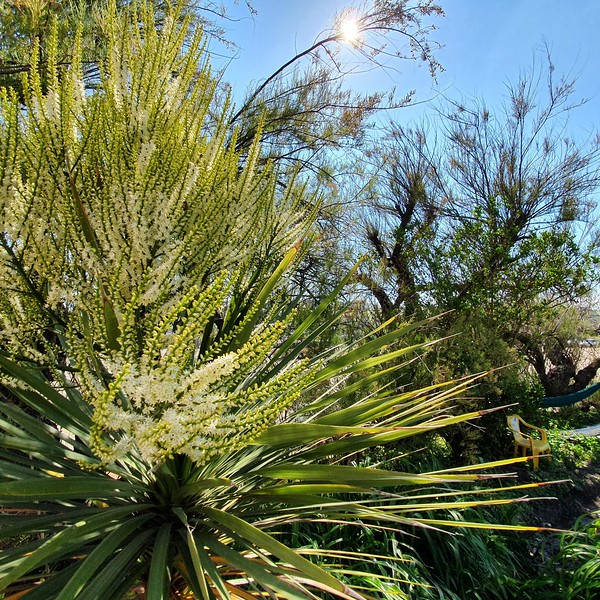 Phoenix pam flower