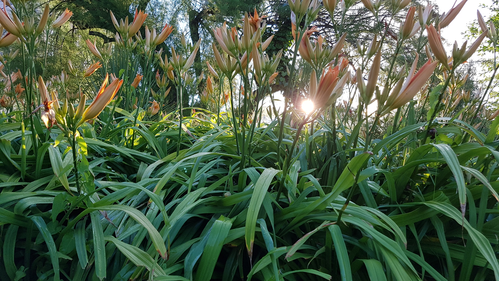Lillies out in Summer