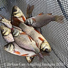 Group of Crucian Carp in the bottom of a fish holding net.